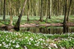 Flores blancas del saltador en la charca Foto de archivo libre de regalías