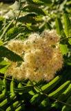 Flores blancas del serbal a principios de verano foto de archivo