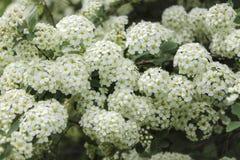 Flores blancas del spiraea en primavera Imagen de archivo