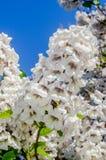 Flores blancas del tomentosa del paulownia Fotos de archivo libres de regalías