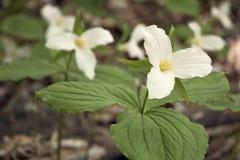 Flores blancas del Trillium en la floración Foto de archivo