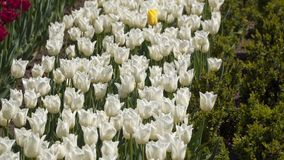 Flores blancas del tulipán