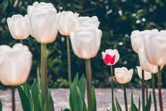 Flores blancas del tulip?n foto de archivo libre de regalías