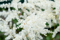 Flores blancas del verano de la primavera Imagen de archivo