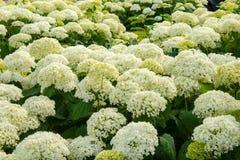Flores blancas del verano de las bolas de Annabelle de los arborescens de la hortensia Imagenes de archivo