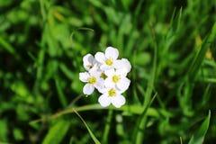Flores blancas del willd del primer en el campo Fotografía de archivo