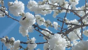 Flores blancas en árbol en el cielo azul con las abejas Foto de archivo libre de regalías