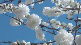 Flores blancas en árbol en el cielo azul con las abejas Imágenes de archivo libres de regalías