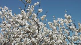 Flores blancas en árbol en el cielo azul con las abejas Imagenes de archivo