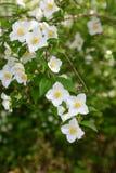 Flores blancas en árbol en primavera Foto de archivo
