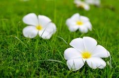 Flores blancas en campo verde imágenes de archivo libres de regalías