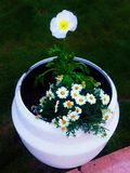 Flores blancas en conserva imagen de archivo libre de regalías