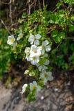 Flores blancas en el arbusto Fotos de archivo