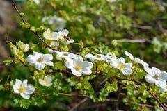 Flores blancas en el arbusto Imagen de archivo libre de regalías