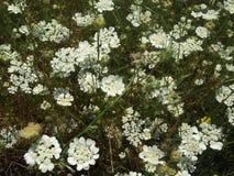 Flores blancas en el campo Fotos de archivo