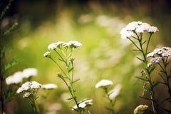 Flores blancas en el fondo del verano del jardín Imágenes de archivo libres de regalías