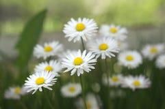 Flores blancas en el jardín, perennis del Bellis Imagenes de archivo