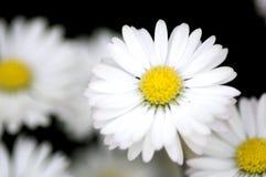 Flores blancas en el jardín, perennis del Bellis Imagen de archivo