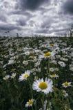 Flores blancas en el prado Foto de archivo libre de regalías