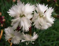 Flores blancas en la floración Foto de archivo