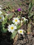 flores blancas en la yarda imagen de archivo