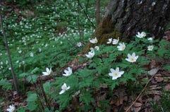 Flores blancas en las maderas Foto de archivo