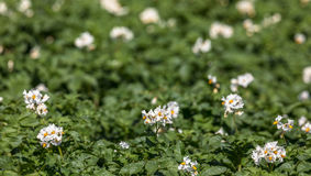 Flores blancas en las plantas de patata Imagen de archivo libre de regalías