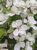 Flores blancas en los arbustos Imágenes de archivo libres de regalías