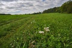 Flores blancas en los arbustos en un meado del bosque Imagen de archivo