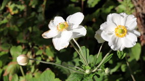 Flores blancas en los tallos verdes que se mueven en viento metrajes