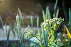 Flores blancas en luz de la tarde Imagen de archivo libre de regalías