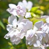Flores blancas en primer Fotografía de archivo