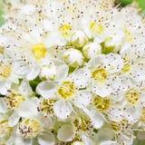 Flores blancas en primer Foto de archivo libre de regalías