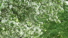 Flores blancas en rama Panorama del árbol floreciente Símbolo de la primavera o del verano y el despertar de la vida, de la alegr almacen de video
