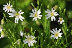 Flores blancas en resorte Fotografía de archivo