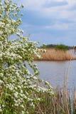 Flores blancas en un árbol en el lago Foto de archivo