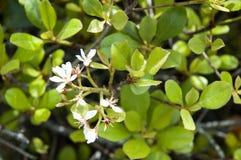 Flores blancas en un arbusto imagenes de archivo