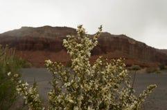 Flores blancas en un arbusto en el desierto cubierto fotografía de archivo libre de regalías