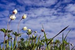 Flores blancas en un cielo nublado del fondo Foto de archivo libre de regalías