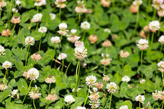 Flores blancas en un trébol Fotos de archivo