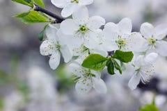 Flores blancas en una rama de la primavera imagen de archivo