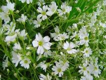 Flores blancas en verde Imágenes de archivo libres de regalías