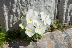 Flores blancas entre las rocas imagenes de archivo