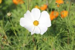 Flores blancas florecientes Foto de archivo libre de regalías