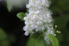 Flores blancas florecientes Imagen de archivo libre de regalías