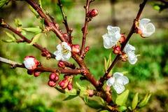 Flores blancas florecientes del albaricoque en la primavera Fotos de archivo