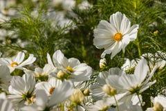 Flores blancas florecientes del cosmos fotografía de archivo libre de regalías