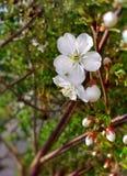 Flores blancas grandes de la cereza imagen de archivo