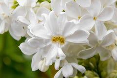 Flores blancas grandes de la lila en gotas de agua Fotos de archivo libres de regalías