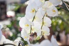 Flores blancas hermosas de la orquídea del Phalaenopsis con el fondo natural colorido imagen de archivo libre de regalías